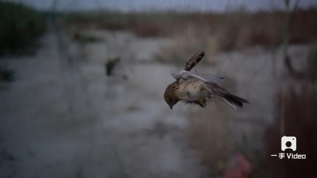 一湿地现巨量捕鸟网,致死上千只鸟