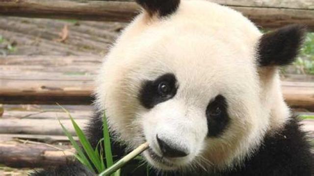 超萌熊猫抓痒,这熊猫瘫没sei了