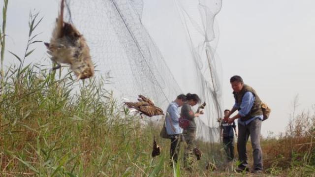 保护候鸟,多地拆除非法捕鸟网