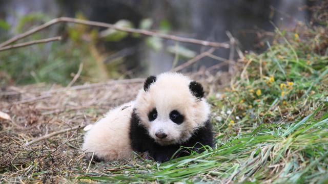 奔跑吧!熊猫哥!那是自由的呼唤