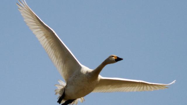 天鹅迁徙季:途经猎捕毒杀终到南方