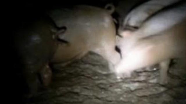 边境直击:1天万头越南生猪偷渡中国
