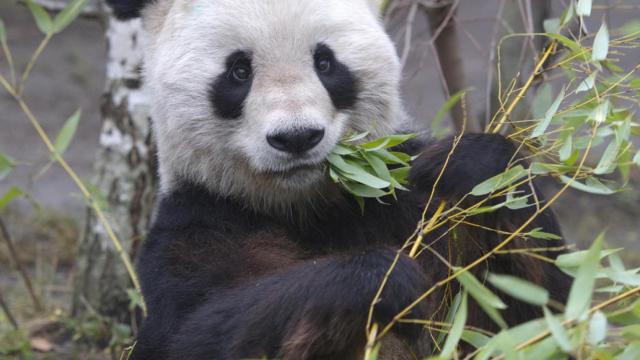 """大熊猫""""龙徽""""在奥地利动物园离世"""