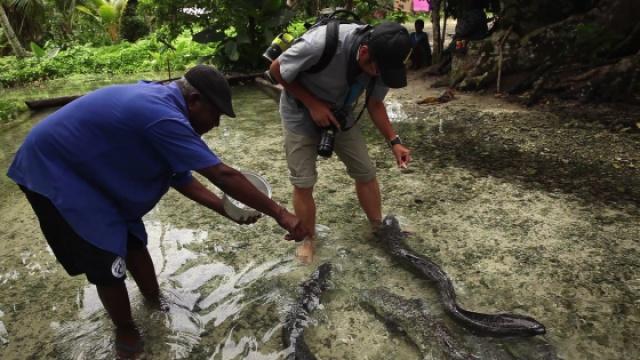 2米长的巨鳗,日本厨子看到绝对疯