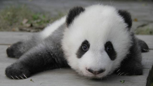 """网红熊猫""""小灰灰""""的烦恼:老被怼"""