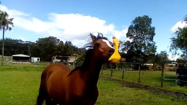 鬼畜:一匹用尖叫鸡放飞自我的马
