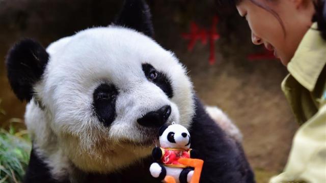 感动三代人!熊猫巴斯,37岁生快