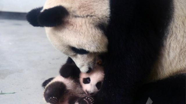 大熊猫母女遭虐致死?园方:好冤