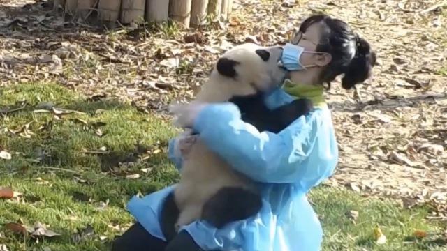 熊猫撩妹四招:求抱强吻死缠抱大腿