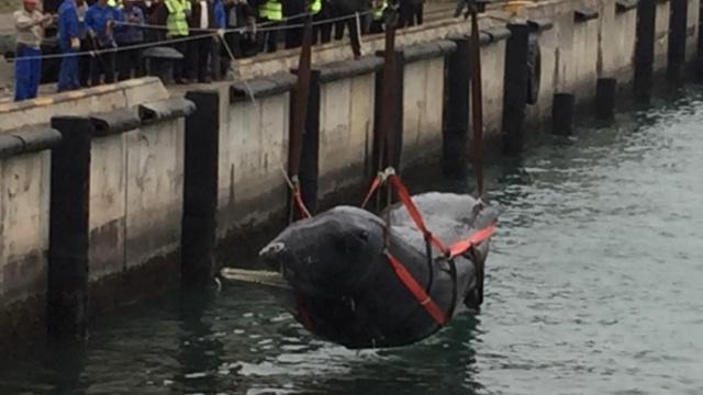 告别大海,搁浅抹香鲸死亡,起吊上岸