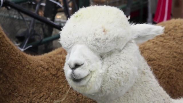 羊驼也选美,快看这些毛茸茸的萌物