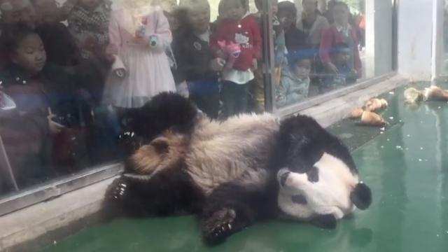 萌化!大熊猫躺姿慵懒,PK葛优?