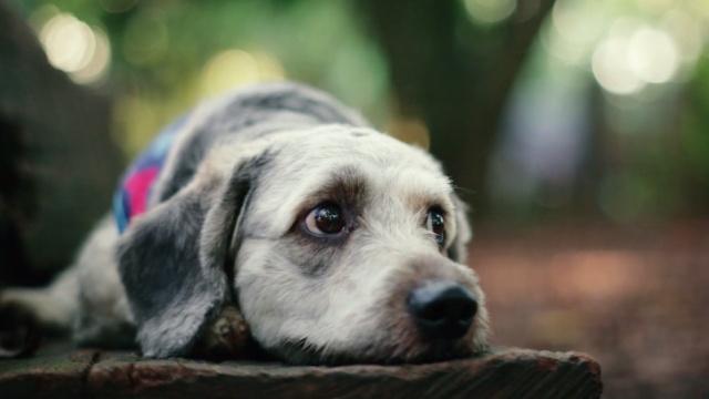 一只因患犬瘟被遗弃的小金毛