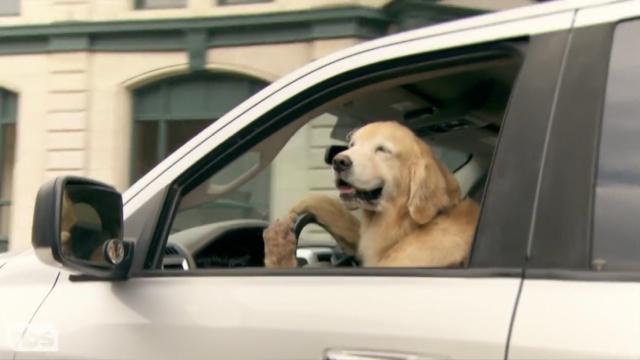 金毛拿飞盘调戏主人:你捡,我开车