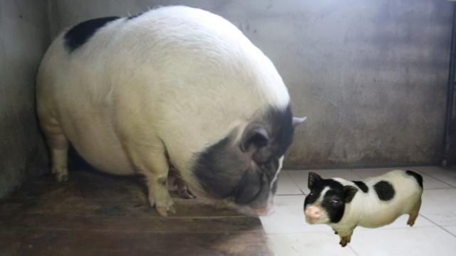 坑!老人买宠物猪,一年长到200斤