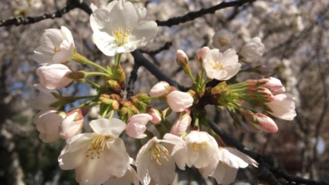 CRI•樱花秘境