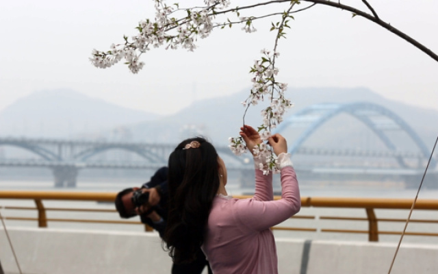杭州樱花跑道火了,游客却辣手摧花