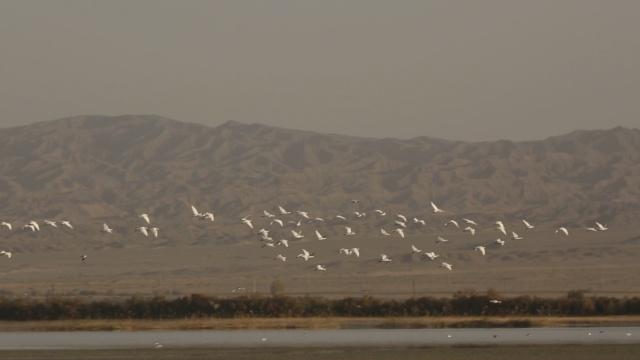 400余只白琵鹭栖息黑河湿地