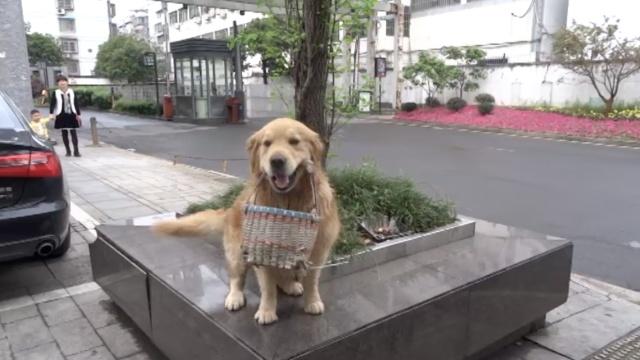 听话!导盲犬紧叼篮子,陪主人买菜