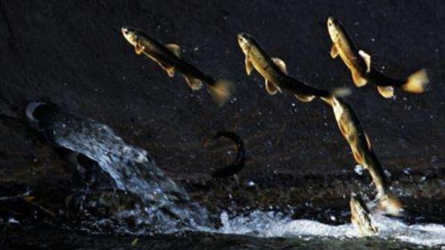 青海湟鱼迴游产卵,湖中成群结队