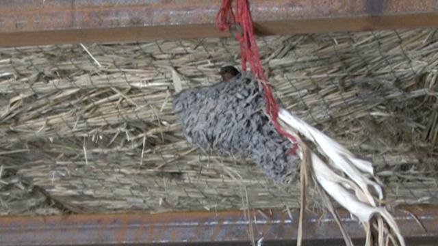 最浪漫燕子CP:大葱上筑巢,慢慢摇