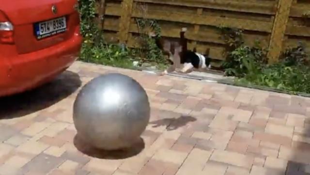 狗狗狂追弹力球,却被