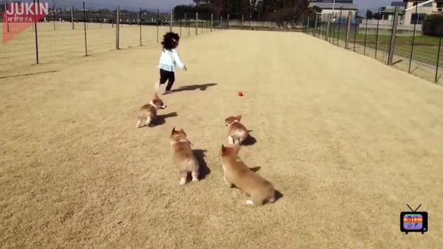 女娃和短腿柯基比赛跑,看谁跑得快