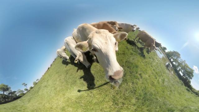 奶牛看到摄影机,二话不说上舌头