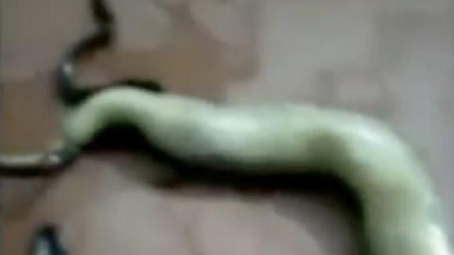 怀孕母蛇被打死,数条幼蛇钻出体内
