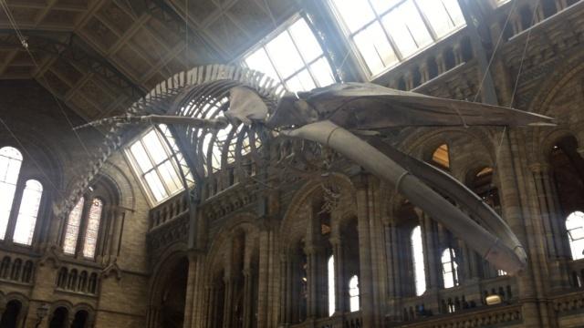 伦敦自然历史博物馆展出百年蓝鲸骨