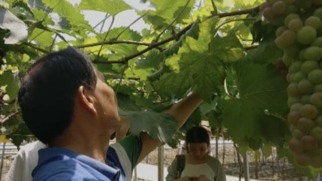 大爷45度高温下种葡萄,日工作8小时