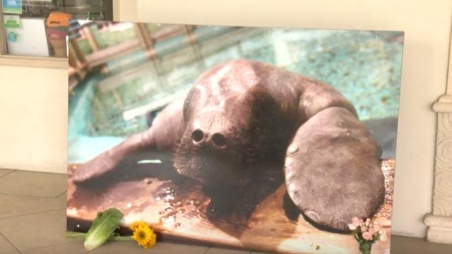 世上最老海牛,过完69岁生日后离世