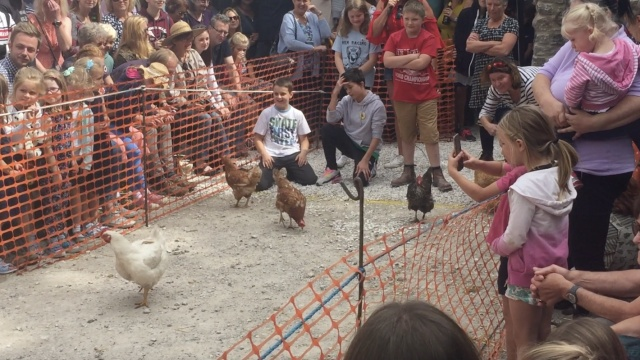 谁是最美母鸡最快母鸡最悠闲母鸡?