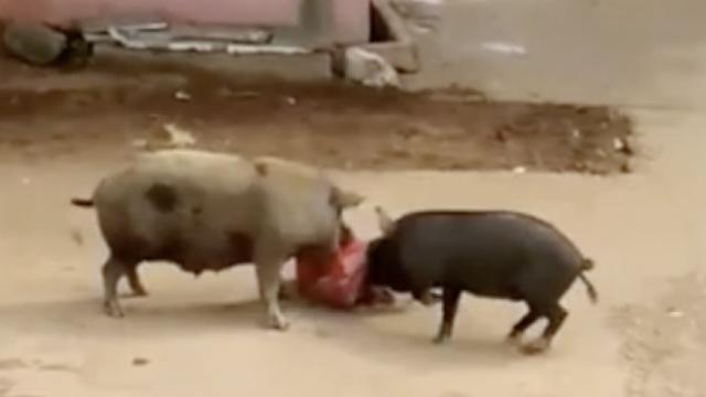 恐怖!印度60岁老妇被俩猪疯狂撕咬