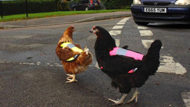 为安全出行,小鸡穿上时尚反光马甲
