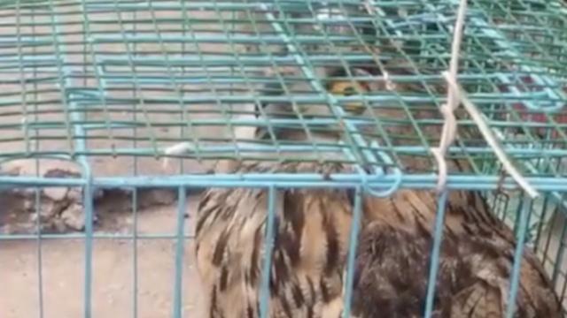 猫头鹰进村钻笼里,偷吃10多只鸽子
