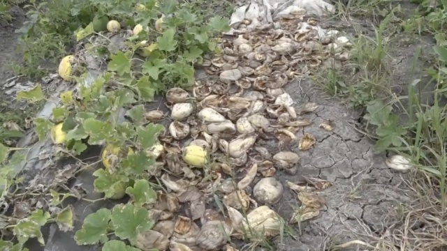 45亩香瓜减收大半,残疾瓜农很无助