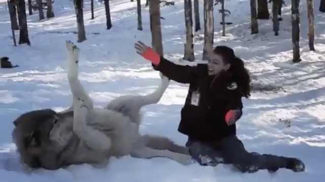 狼在雪地撒娇打滚,求美女亲亲抱抱