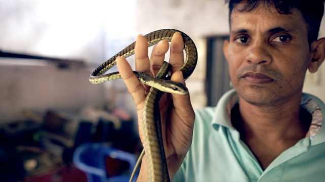 斯里兰卡驯蛇师:三代世家帮人解毒