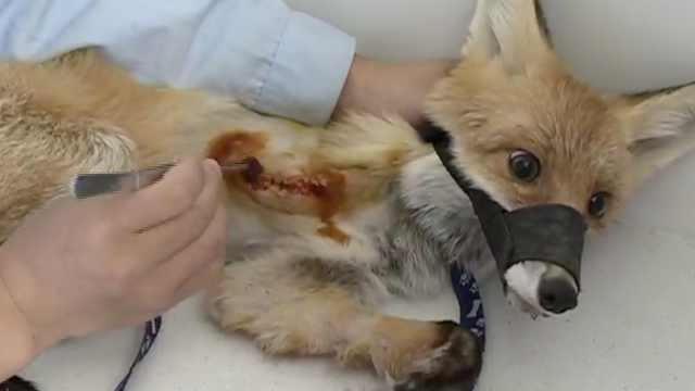 小狐狸右腿受伤被截肢,眼神惹人怜