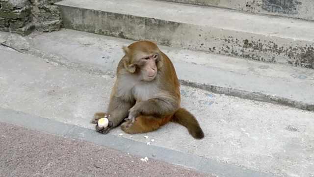 猴哥路边淡定吃蛋,左手受伤只有3指