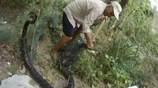 吓!蟒蛇被困菜园,大爷徒手按蛇头