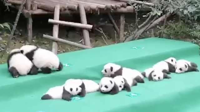真的萌爆啦!2017最萌熊猫天团亮相