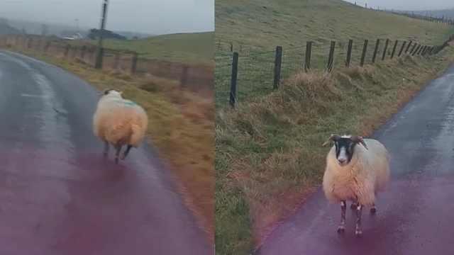 暴躁司机遭遇挡路绵羊,气到吐血