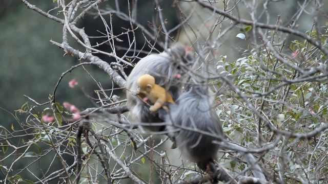 灰叶猴下山觅食,金黄色幼猴萌化了