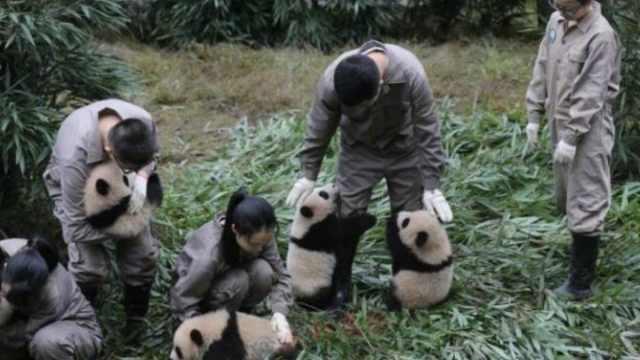紧抱奶爸大腿!17年熊猫宝宝齐亮相