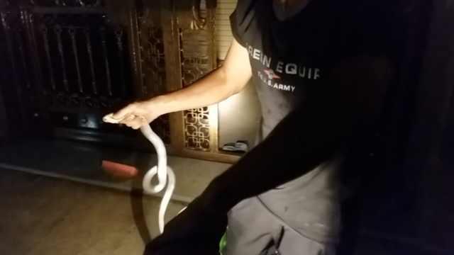 1米眼镜蛇夜潜居民楼道,求进屋取暖
