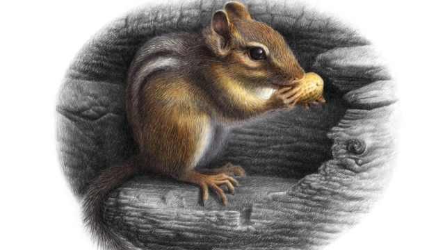 OY手绘:彩色圆珠笔画——花栗鼠