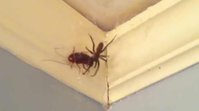 重口!用蜘蛛灭蟑螂,这办法可行