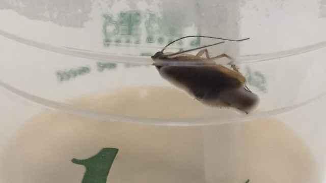 网红奶茶喝出蟑螂?店家拒回应
